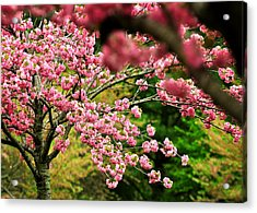 The Cherry Orchard Acrylic Print by Rebecca Sherman