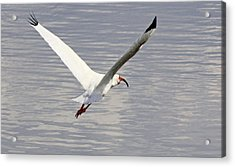 The Graceful White Ibis Acrylic Print by Becky Lodes