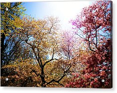 The Grandest Of Dreams - Cherry Blossoms - Brooklyn Botanic Garden Acrylic Print by Vivienne Gucwa