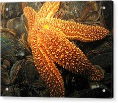 The Great Starfish Acrylic Print by Paul Ward