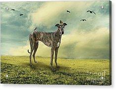 The Greyhound Acrylic Print by Ethiriel  Photography