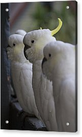 The Line-up Acrylic Print by Douglas Barnard