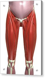 The Muscles Of The Lower Limb Acrylic Print by MedicalRF.com