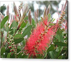 The Queen's 'ohia Lehua  Acrylic Print by Ron Holiday Broomell
