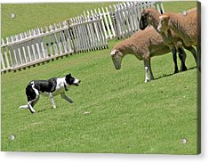 The Stare - Border Collie At Work Acrylic Print by Christine Till