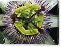 The Startling Petals And Stamen Acrylic Print by Jason Edwards