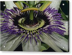 The Vivid Purple And Intricate Acrylic Print by Jason Edwards