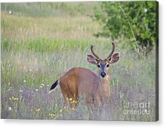 The Yearling Acrylic Print by Sean Griffin