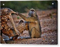 This Is Botswana No.  6 - Watching The Sun Go Down Acrylic Print by Paul W Sharpe Aka Wizard of Wonders