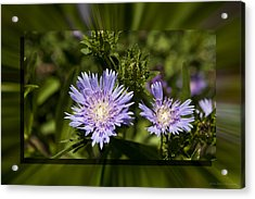 Thistle 131 Acrylic Print by Charles Warren