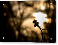 Thistle And Weeds Acrylic Print by Justin Albrecht