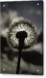 Thoreau Called A Dandelion A Complete Acrylic Print by Farrell Grehan