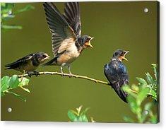 Three Barn Swallow Fledglings Begging Acrylic Print by Darlyne A. Murawski