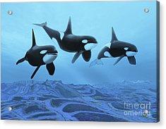 Three Male Killer Whales Swim Acrylic Print by Corey Ford