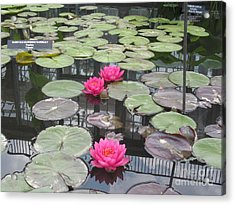 Three Pink Water Lilies Acrylic Print by Portia Petty