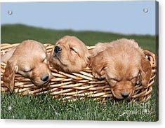 Three Sleeping Puppy Dogs In Basket Acrylic Print by Cindy Singleton