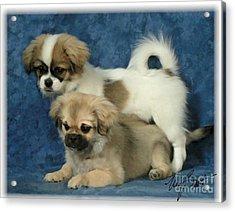 Tibetan Spaniel Pups 2  Acrylic Print by Maxine Bochnia