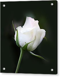 Tinted White Rose Bud Acrylic Print by Linda Phelps