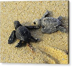 Tommy And Timmy Turtle Acrylic Print by John  Greaves