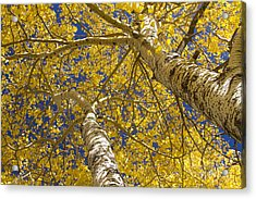 Towering Autumn Aspens With Deep Blue Sky Acrylic Print by James BO  Insogna
