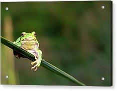 Tree Frog Acrylic Print by Aaa
