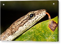 Tree Snake  Acrylic Print by Gary Bridger