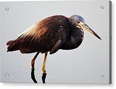 Tri-colored Heron Acrylic Print by Paulette Thomas