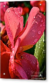 Tropical Rose Canna Lily Acrylic Print by Susan Herber