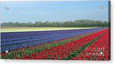 Tulip And Hyacinth Fields In Holland. Panorama Acrylic Print by Ausra Huntington nee Paulauskaite