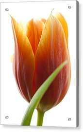 Tulip Picture Acrylic Print by Falko Follert