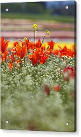Tulips In A Field At Wooden Shoe Tulip Farm Acrylic Print by Design Pics / Craig Tuttle