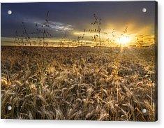 Tumble Wheat Acrylic Print by Debra and Dave Vanderlaan