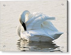 Tumpeter Swan Acrylic Print by Larry Ricker