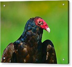 Turkey Vulture Acrylic Print by Tony Beck