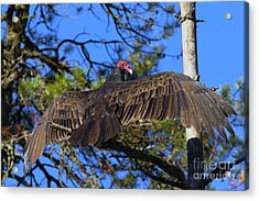 Turkey Vulture With Wings Spread Acrylic Print by Sharon Talson