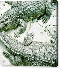 Two Alligators Acrylic Print by Yasushi Okano