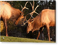 Two Bull Elk Sparring 91 Acrylic Print by James BO  Insogna