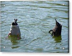 Two Ducks Diving Acrylic Print by Matthias Hauser