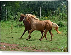 Two Horses In Unison  - 7221d Acrylic Print by Paul Lyndon Phillips