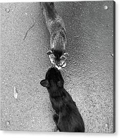 Two Kittens Which Kiss Acrylic Print by photographer, loves art, lives in Kyoto