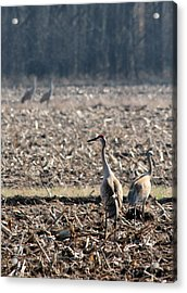 Two Pairs Of Sandhill Cranes Acrylic Print by Mark J Seefeldt