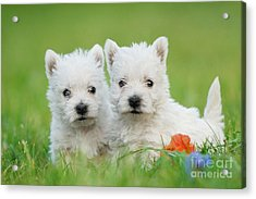 Two West Highland White Terrier Puppies Portrait Acrylic Print by Waldek Dabrowski