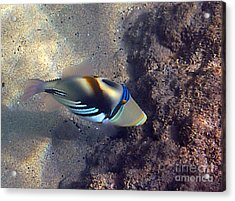 Upclose With A Lagoon Triggerfish Acrylic Print by Bette Phelan
