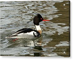 Vibrant Red Breasted Merganser At The Lake Acrylic Print by Inspired Nature Photography Fine Art Photography