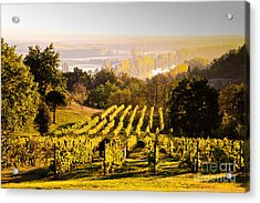 Vineyard Acrylic Print by Voisin and Phanie and Photo Researchers