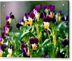 Viola Parade Acrylic Print by Karen Wiles