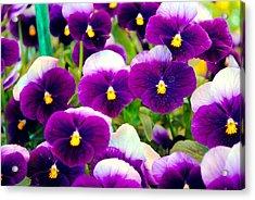 Violet Pansies Acrylic Print by Sumit Mehndiratta