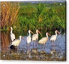 Wading Ibises Acrylic Print by Al Powell Photography USA