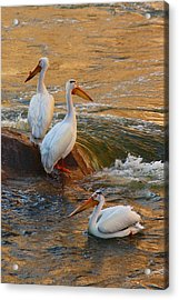 Waiting For Dinner Acrylic Print by Richard Stillwell