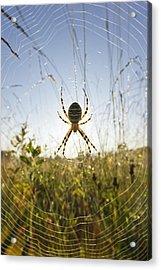 Wasp Spider Argiope Bruennichi In Web Acrylic Print by Konrad Wothe
